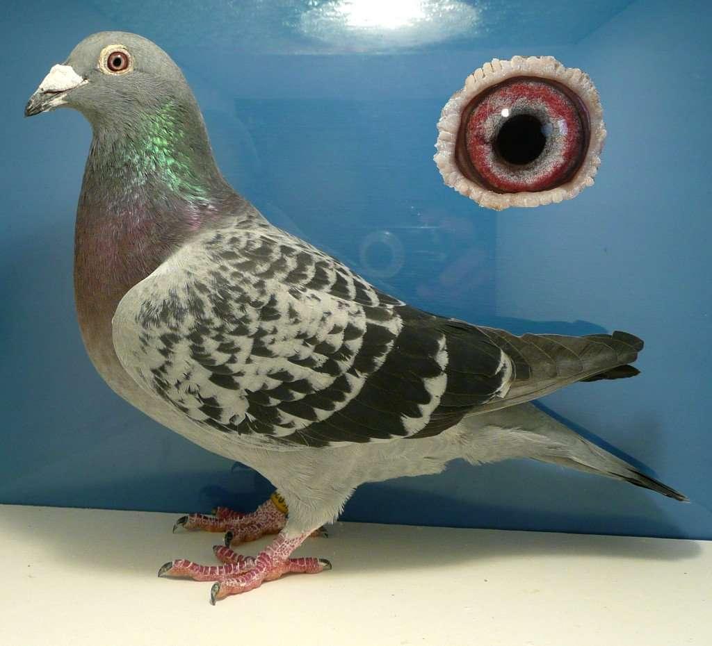 Cholet Hen