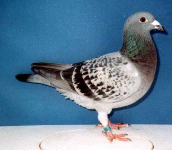 Continental Hen