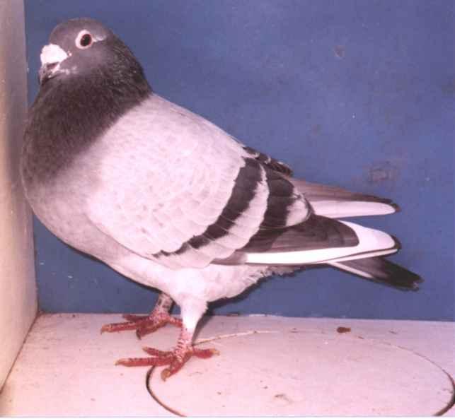 Grantham Cock