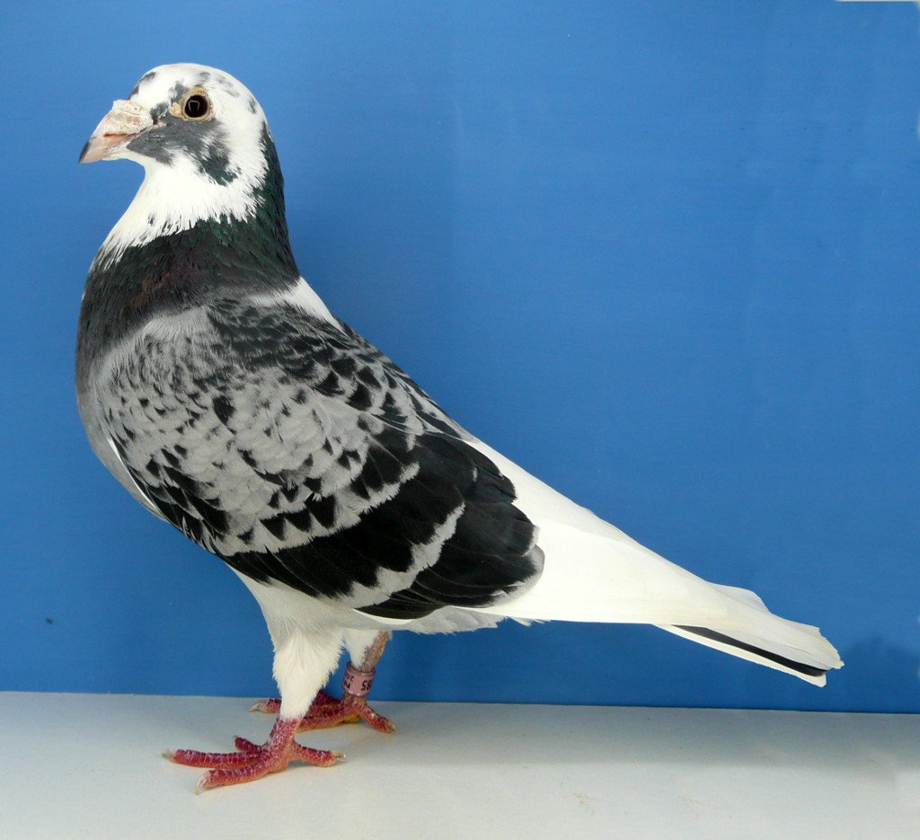 Silver Shadow Cock