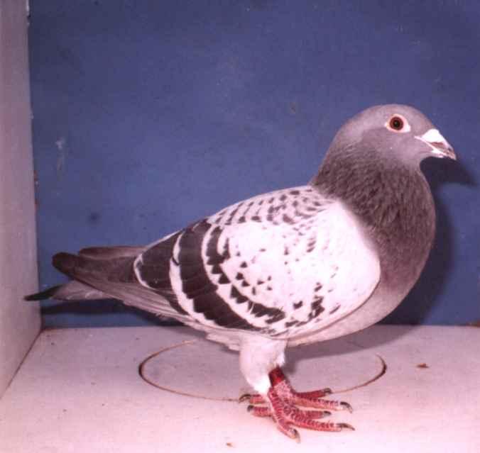 Wonder Hen