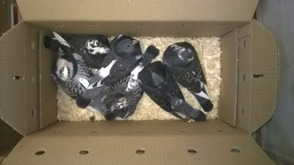Aarden young birds boxed