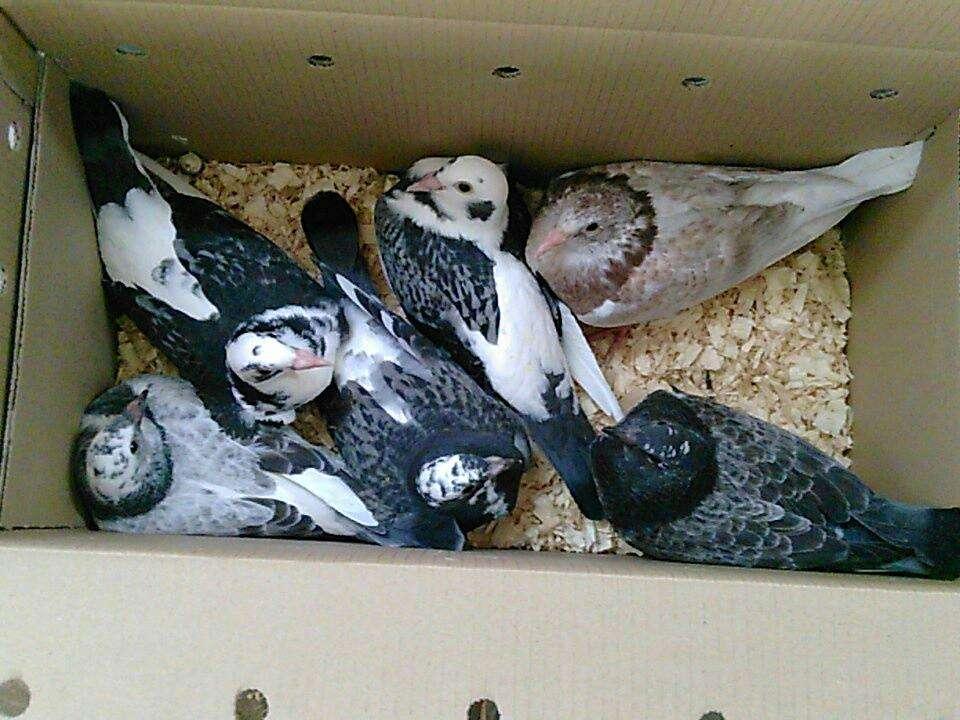 Box of 6 Janssens